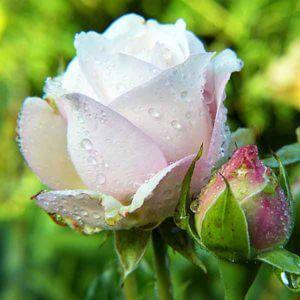 Свежесрезанные цветы